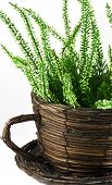 image of planters  - Image of wicker planter with green flower - JPG