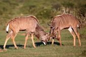 stock photo of mating animal  - Two male kudu antelope with horns intertwined in a fight for dominance - JPG