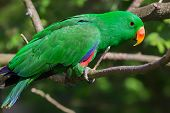 picture of king parrot  - Close - JPG