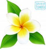 stock photo of plumeria flower  - Vector realistic plumeria flower on white background - JPG