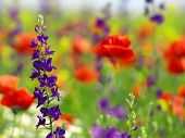 stock photo of purple sage  - Wild Sage and poppies - JPG