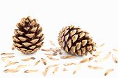 foto of spores  - Two pine cone with seeds spores on white background - JPG