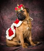 image of bull-mastiff  - bull mastiff wearing king costume sitting on purple background - JPG