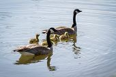stock photo of baby goose  - canadian goose family with mom and dad and four babies floating on the pond - JPG