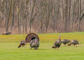 image of gobbler  - Strutting male wild turkey displaying in the spring mating season - JPG