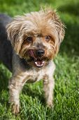 picture of yorkie  - portrait of a groom yorki walking outdoors in springtime with eye allergies - JPG