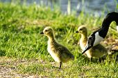 foto of baby goose  - baby goslings feeding on green spring grass with a parent watching over them - JPG