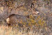 stock photo of mule deer  - A yearling Mule Deer hiding behind a shrub in Colorado - JPG