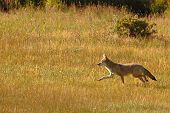 picture of coyote  - A Coyote running quickly through a meadow in Colorado - JPG