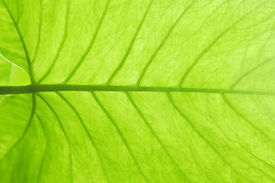 picture of photosynthesis  - Green leaf texture photo as a background - JPG