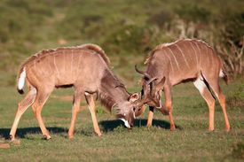 stock photo of antelope horn  - Two male kudu antelope with horns intertwined in a fight for dominance - JPG