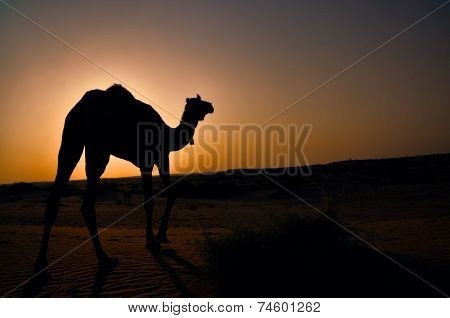 Breathtaking view of a camel walking into sunset