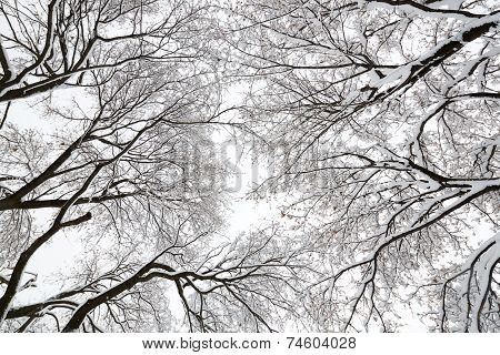 Tree Canopy In A Snow Storm