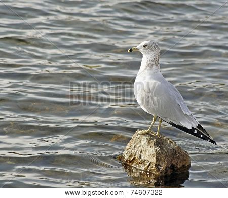 Seagull Looking Out At Sea