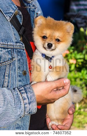 Fluffyl Pomeranian Puppy In Hand