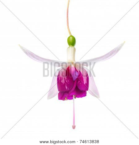 Beautiful Red And White Fuchsia Flower Is Isolated On White Background, ` American Prelude`