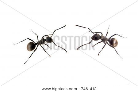 ant in line