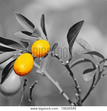 Closeup Of A Kumquat Plant With Selective Desaturation Effect