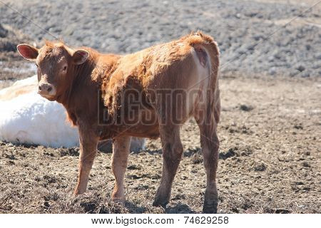 Cow in Small Holding Area