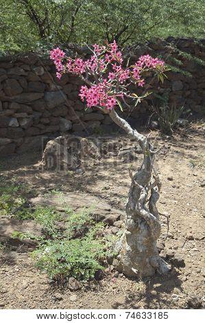 Desert Rose In Kenya.
