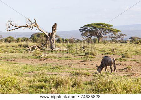 Wildebeest In Amboseli, Kenya