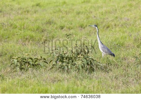 Grey Heron In Kenya