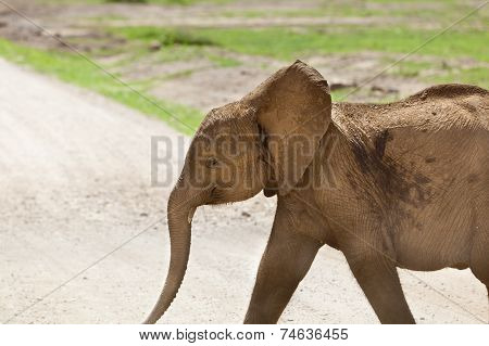 Young Elephant In Kenya
