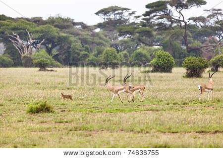 Caracal And Gazelles