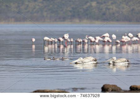 Pelicans At Lake Nakuru, Kenya