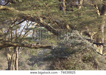 Cheetah In Kenya