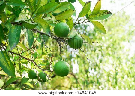 Fruits Of Lime On Tree Branch