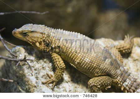 Karoo Girdled Lizard, Cordylus Polyzonus