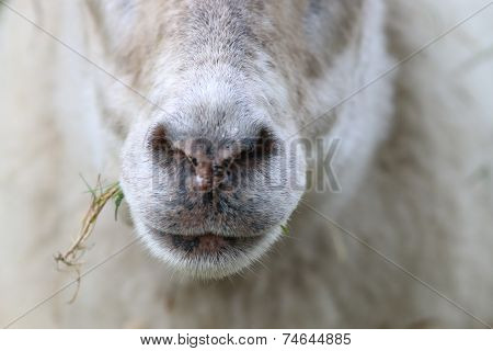Close-up Of A Sheep Eating A Straw Of Grass