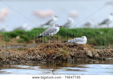 Grey-headed Gulls (larus Cirrocephalus)