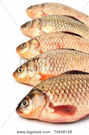 Crucian Carp Fishes
