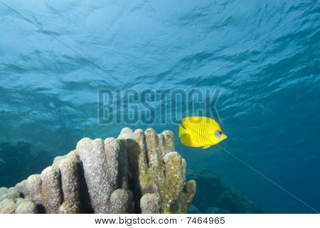 Yellow Tropical Fish