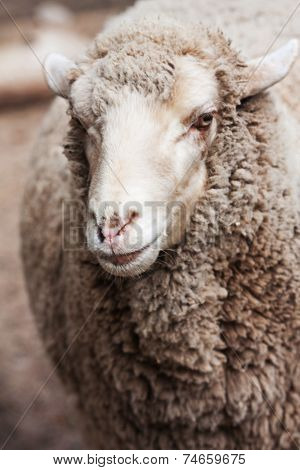 woolly sheep in zoo