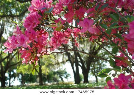 Azaleas with Oak Trees in the Background