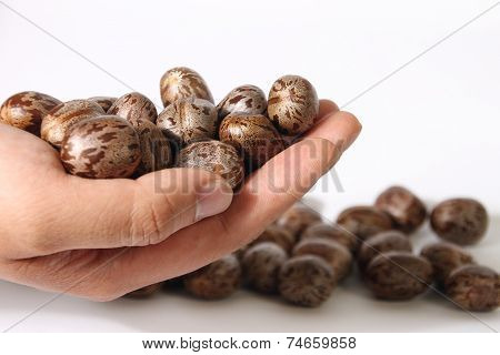 Rubber Plant Seeds