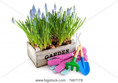 Garden Crate With Muscari And Tools