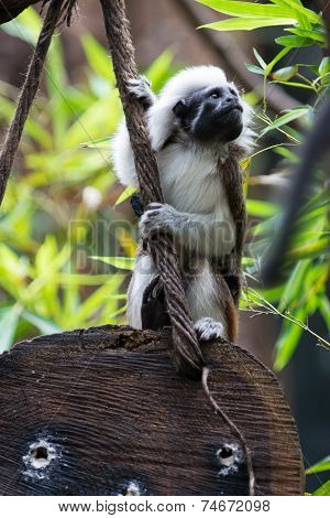 one Cotton-top Tamarin Monkey sits on wood holding at rope