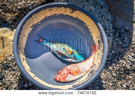 Freshly caught vivid blue and red tropical fish in old dish Barahona Dominican Republic