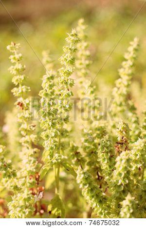 Spice Plant Basil