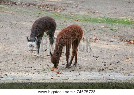 The young Lamas