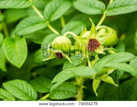 Green Flower  In Queen Sirikit Botanic Garden, Chiangmai Thailand.