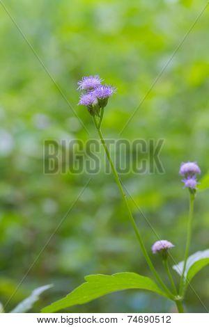 Bluish violet Ageratum or Ageratum conyzoides L.