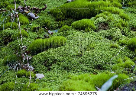 Forest Floor Covered With Fresh Moss