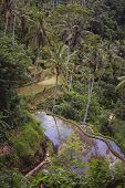 picture of gunung  - Rice terraces of the temple Gunung Kawi - JPG