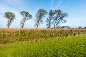 stock photo of zea  - Agricultural landscape with ripe silage maize on a sunny day in the fall season - JPG