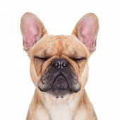 picture of rest-in-peace  - fawn french bulldog with closed eyes sitting and resting on white isolated background - JPG